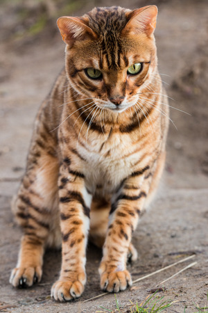 Purebred Bengal cat Stock Photo