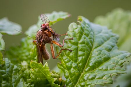 Assassin fly feeding on another insect Stock Photo