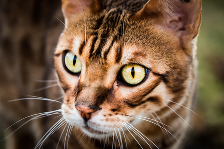 bengal: Portrait of a purebred Bengal cat