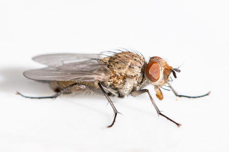Macro fly with brown eyes on a white surface Stock Photo