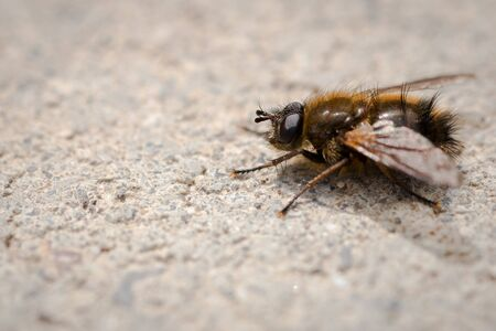 Closeup of a gloden dung fly on the pavement Stock Photo