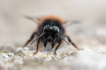 Macro image of a black bee on the sidewalks