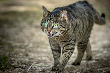 wild cat: Wild cat with open mouth walking on a path