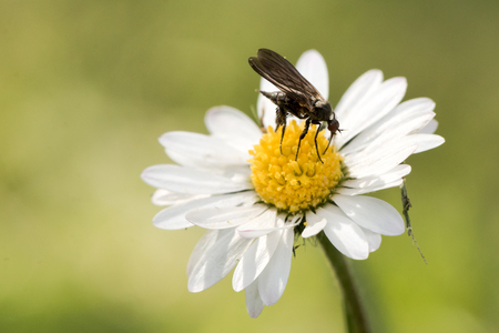 Little black fly feeding on a daisy Stock Photo