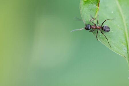 Black ant on top of a green leaf, against green background