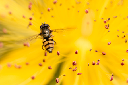 Closeup of a bee flying above the stamens of a flower