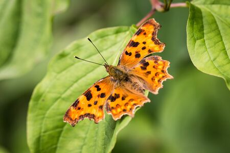 Orange butterfly with black spots on a green leaf