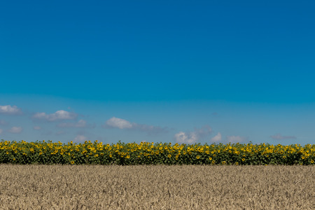 Sunflower field against blue sky full frame