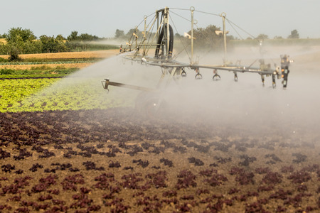 Modern agriculture with sprinklers on a salad field