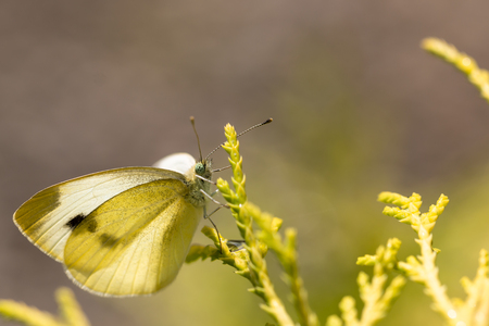 Cabbage white butterfly on a plant in the sunshine Stock Photo
