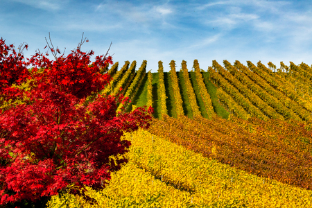 Landscape with hills of vineyards and red leaves Stock Photo