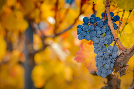 Isolated grapes in a vineyard on a sunny day Stock Photo
