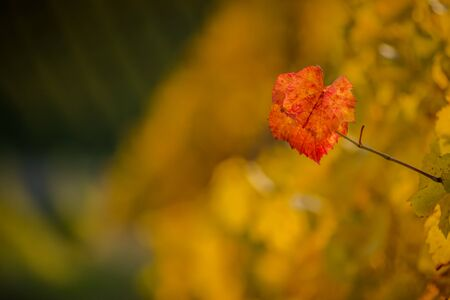 Isolated grape leaf creating a fall background Stock Photo