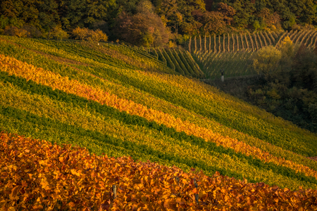 Colorful vineyards on a sunny fall afternoon
