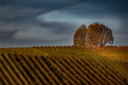 Beautiful landscape of vineyards and a tree in the sunset on a fall evening