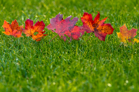 Red leaves in a row on a meadow with green grass