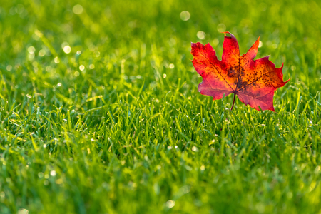 Red leaf on green grass in the sunlight