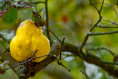 Big yellow quince on a branch in autumn