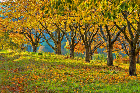 Row of chestnut trees on a sunny fall day Stock Photo