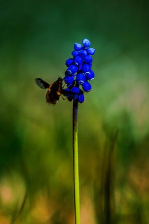 Muscari neglectum flowers