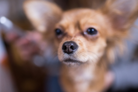 Beautiful close up portrait of an adorable chihuahua dog Stock Photo