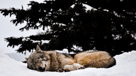 Sleeping lonely wolf