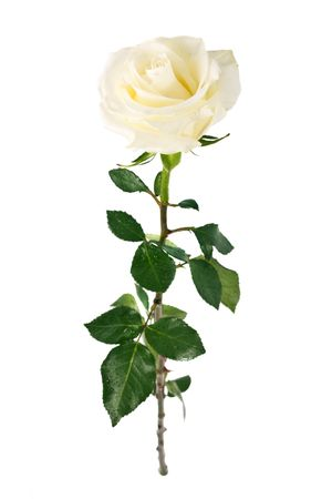 white fresh rose isolated on a white background. More isolated flowers you may see in my portfolio