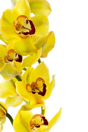 fresh bright yellow orchid isolated on a white background