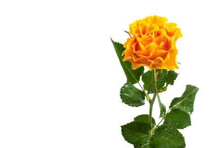beautiful yellow rose isolated on white background photo