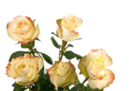 yellow fresh roses isolated on a white background. More isolated flowers you may see in my portfolio Stock Photo - 6389791