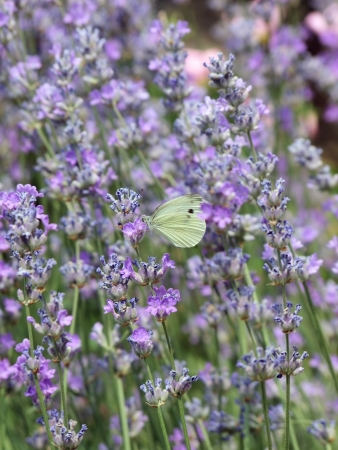 Lavender flowers and butterfly photo