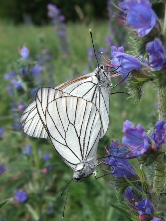 pieridae: Two white butterflies on blue flowers