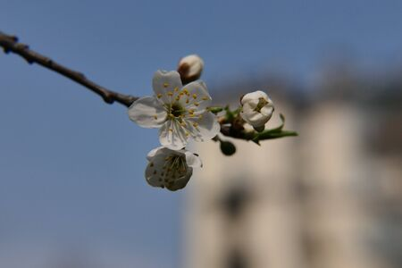 Only one blossomed, and all the others - still closed flowers of a cherry tree even without leaves - against the background of a tall ancient building.