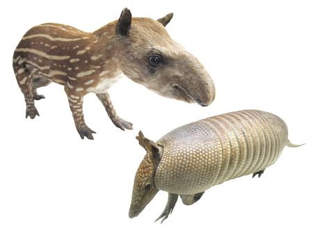 viviparous: The image of armadillo and tapir under the white background. Focus is under the head of an armadillo.