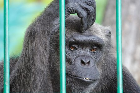 cage gorilla: The image of sad chimpanzee scratching her head