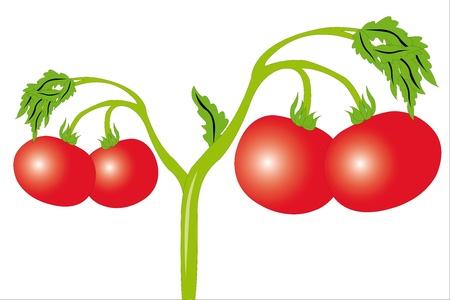 agrario: Ilustraci�n vectorial de tomate bajo el fondo blanco