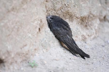 swift: The image of swift near the nest
