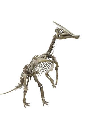 herbivore natural: The image of dinosaurs skeleton