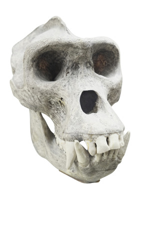 anthropoid: Skull of a primacy Stock Photo