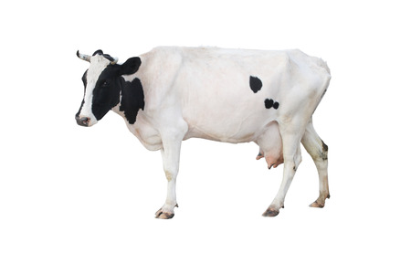 The image of a cow Stock Photo