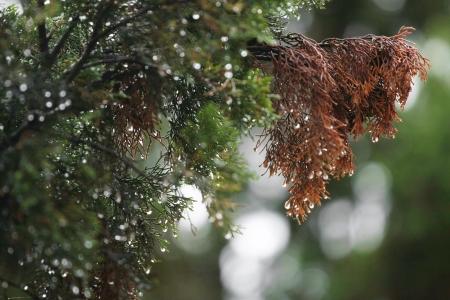 pine needles close up: wet fir branch close up Stock Photo