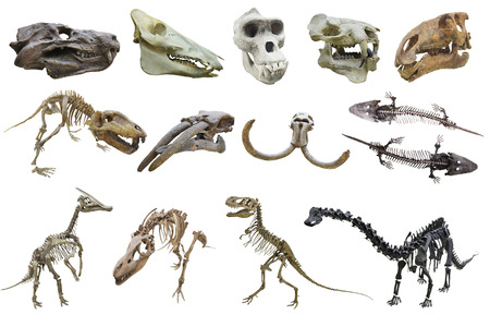 anthropomorphous: Skull of a primacy Stock Photo