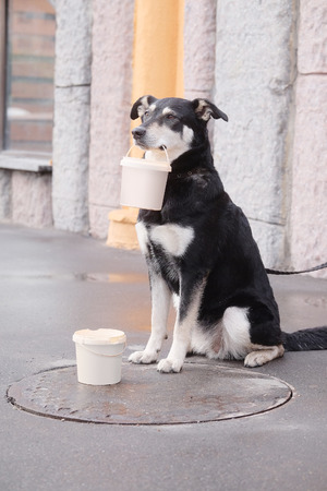 begs: mongrel dog begs with with a can in a mouth