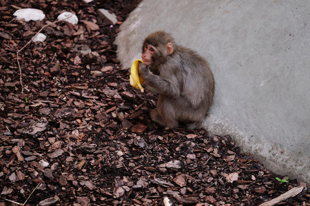 primacy: The image of a monkey Stock Photo