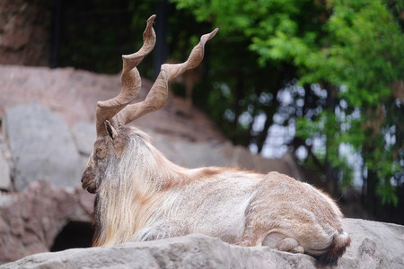 Male of a mountain goat