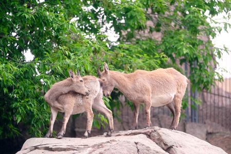 rockclimber: females of a mountain goat