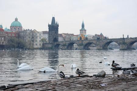 Swams on Vitava river in Prague