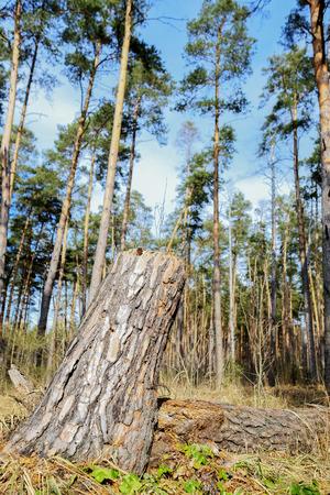 sky brunch: Landscape with the image of spring forest