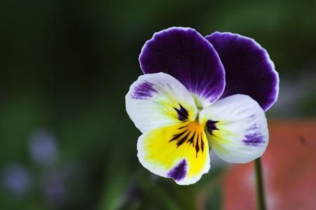 Close up of pansies Zdjęcie Seryjne