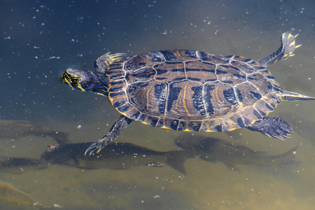 The image of swimming turtle
